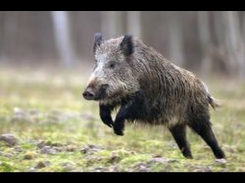 Chasse Grand Gibier : Tir de 4 sangliers - YouTube