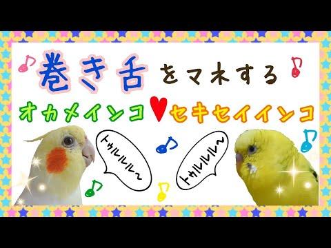 飼い主の巻き舌をマネするオカメインコとセキセイインコ☆ Budgerigar Cockatie  parakeet