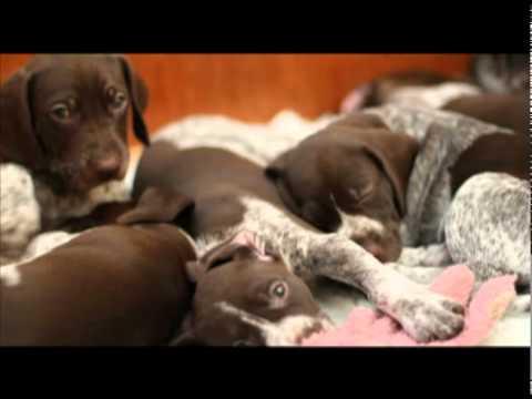German Shorthaired Pointer Puppies 2011