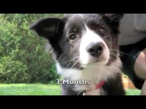 Scrappy the Border Collie Puppy