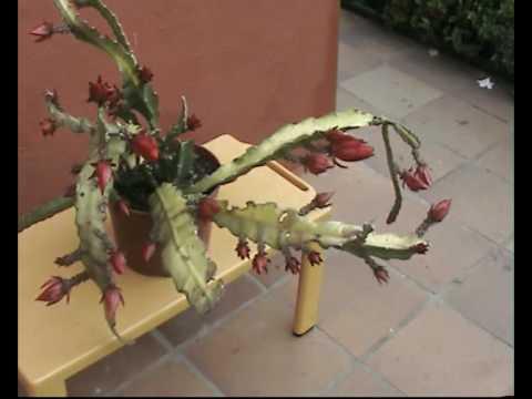 Cactus orqu dea 7 pluma de santa teresa epiphyllium for Santa teresita planta