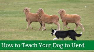 How to Teach Your Dog to Herd || How to teach your dog to herd sheep || Herd dog training