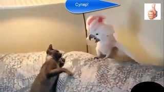 не поверите, но коты иногда проигрывают    но только не человеку