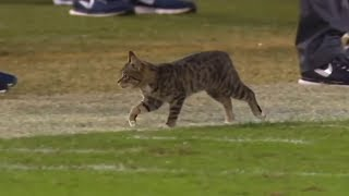 Animal Interference in Football | Part 2