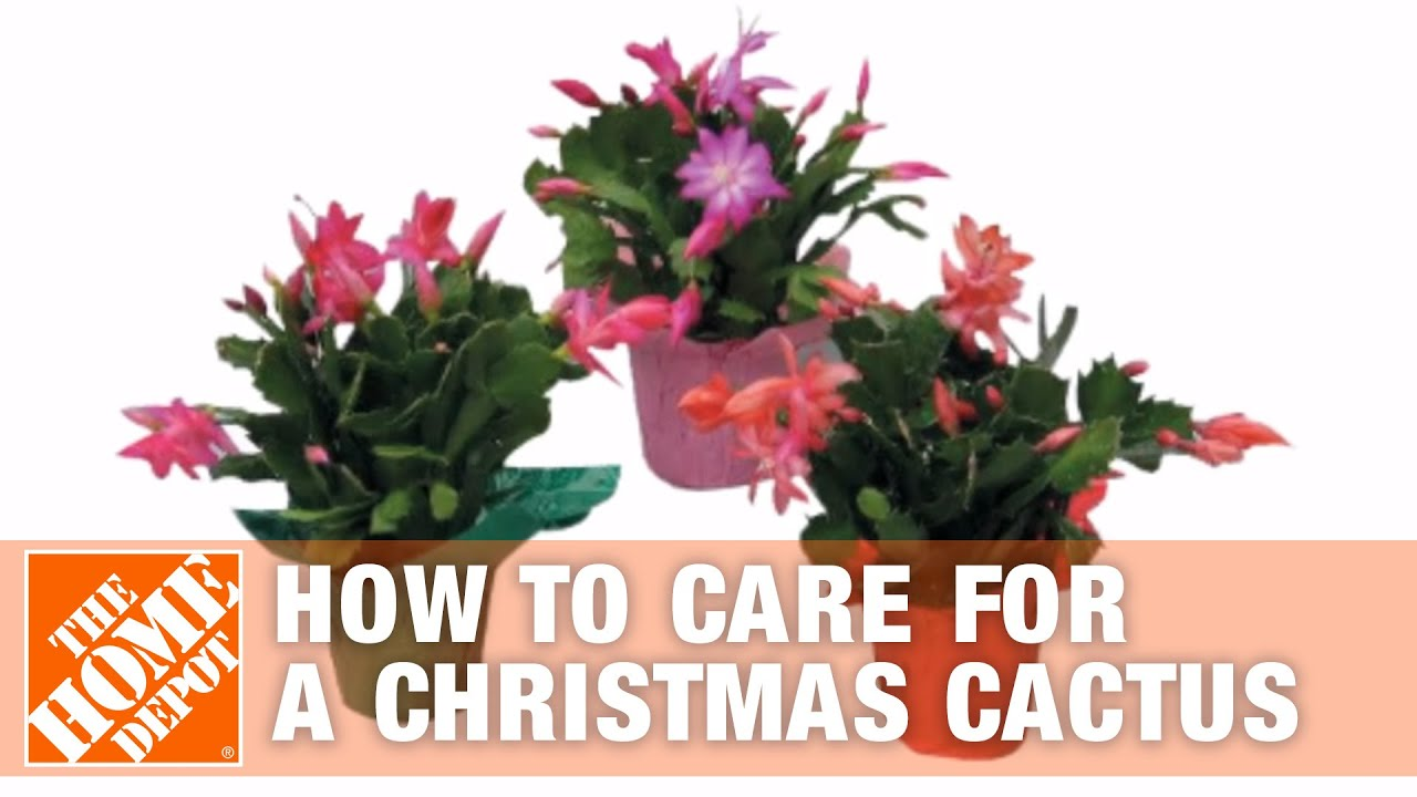Caring for Poinsettias and Christmas Cactus Plants - YouTube