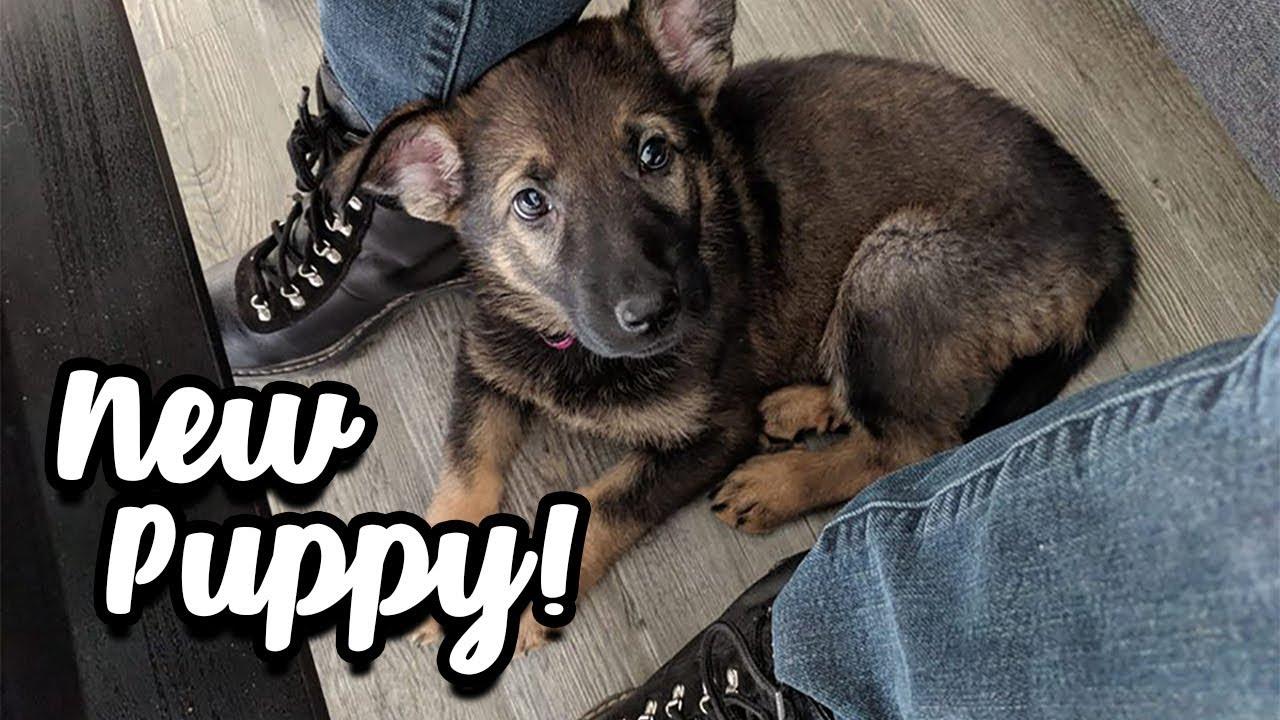 GETTING A NEW PUPPY: MEET MY GERMAN SHEPHERD DOG & PUPPY BLUES