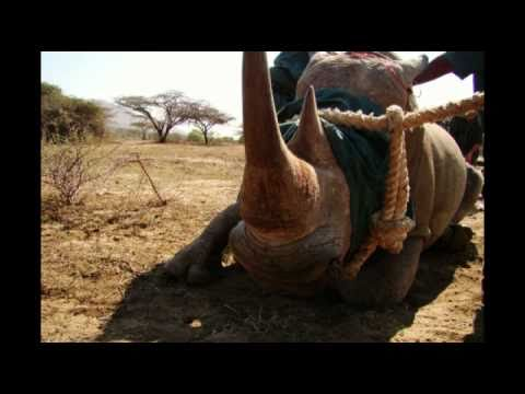 Hluhlluwe Umfolozi White Rhino Game Capture Battle