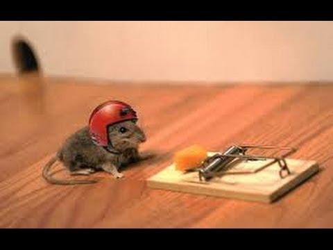Если на даче или в доме вас одолевают мыши, то есть два решения этой проблемы: завести кота или сделать мышеловку своими руками.