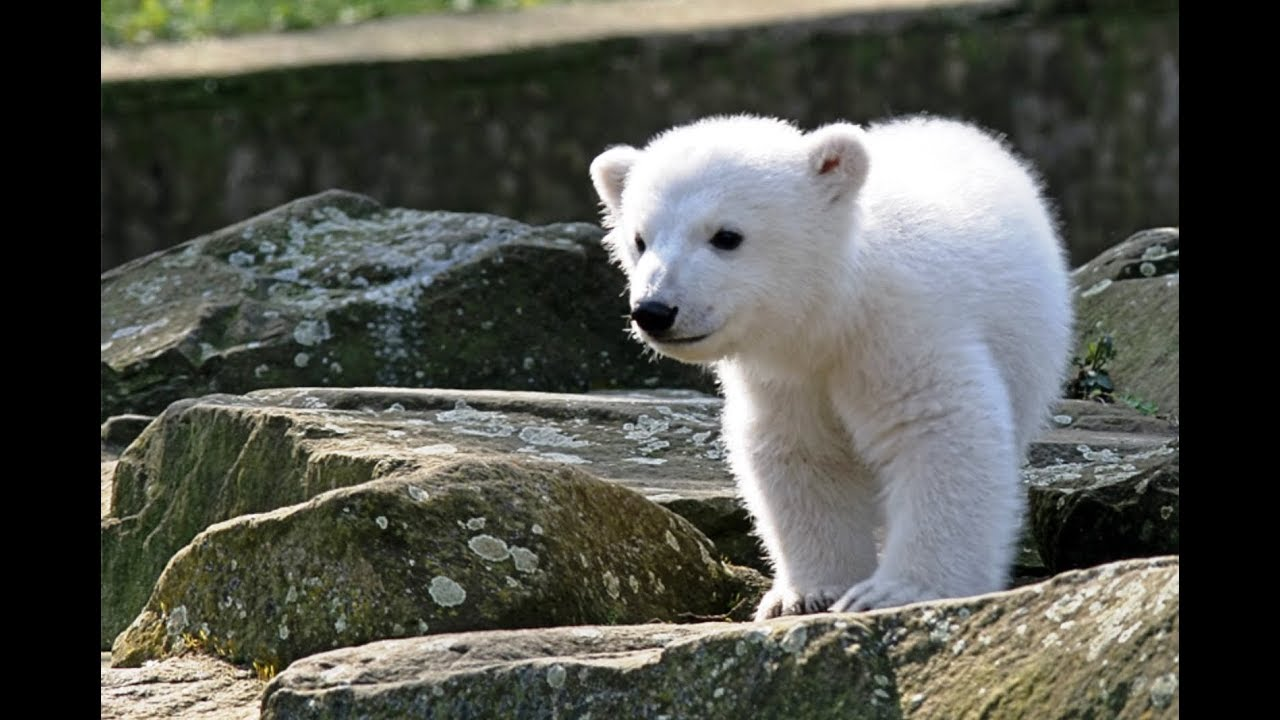 Картинки по запросу белый медвежонок