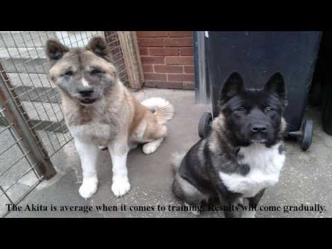 The temperament of an Akita puppy- The Most respectable Akita dog breeds