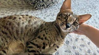 Sweet Savannah Cat Zara Meowing And Purring! Cuteness Overload! #cute #cat #video
