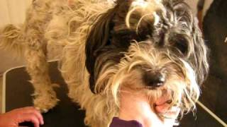 Seuss The Tibetan Terrier Before Haircut - Visit: Http://dogsneedhomes.blogspot.com
