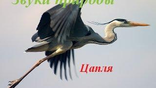 Звуки природы для детей ♪ Голоса птиц для детей ♪ Цапля