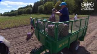 видео купить картошку в минске