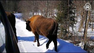 Straż leśna w Bieszczadach ;), czyli żubry kontrolują :D - 4K
