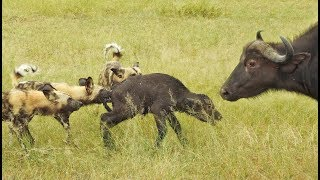 Wild Dogs Take 5 Buffalo Calves in an EPIC Feeding Frenzy!