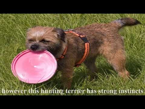 Border Terriers are extremely good companions