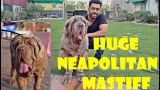 Super Wrinkled Neapolitan Mastiff  Showline Dogs  SPunjab_Mastiff #NEO #NEO_MASTIFF