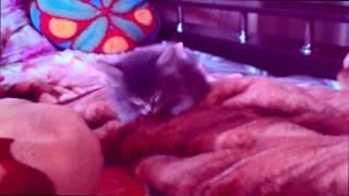 Красивые и пушистые котята Кексик и Тучка спят утром после Евро 2016