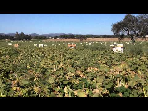 Tutti Frutti Squash Fields in Santa Barbara County