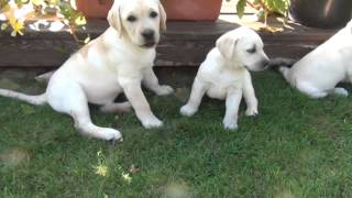 Labrador Retriever Puppies - Kennel Dominus Moravia