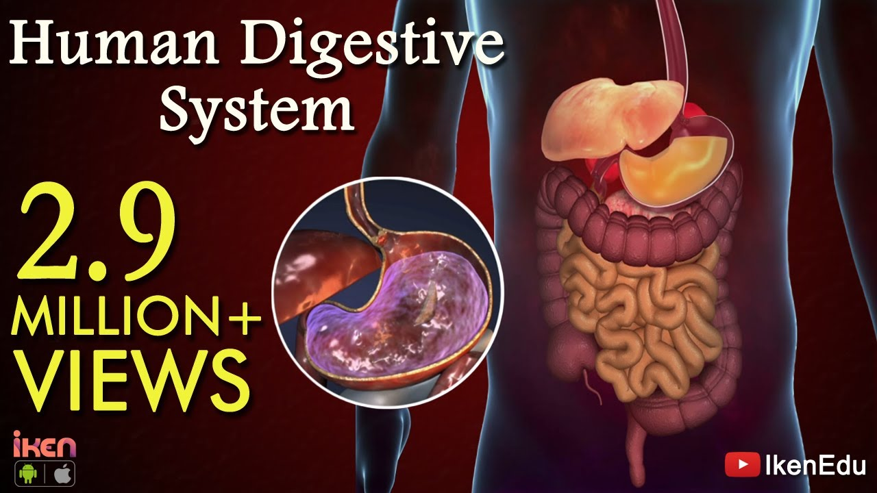 learn about digestive system human digestive system animation part 1 [ 1280 x 720 Pixel ]