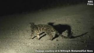 New clouded leopard species caught on video (HD) thumbnail