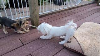 Cute Yorkie, Maltese, Morkie   Playing Tug of War   Funny Pet Videos