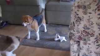 Ragdoll Cat and Beagle playing