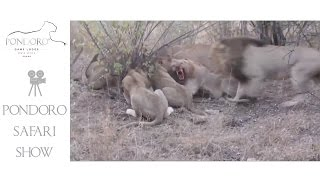 Lions killing a waterbuck at Pondoro Lodge in Kruger Park