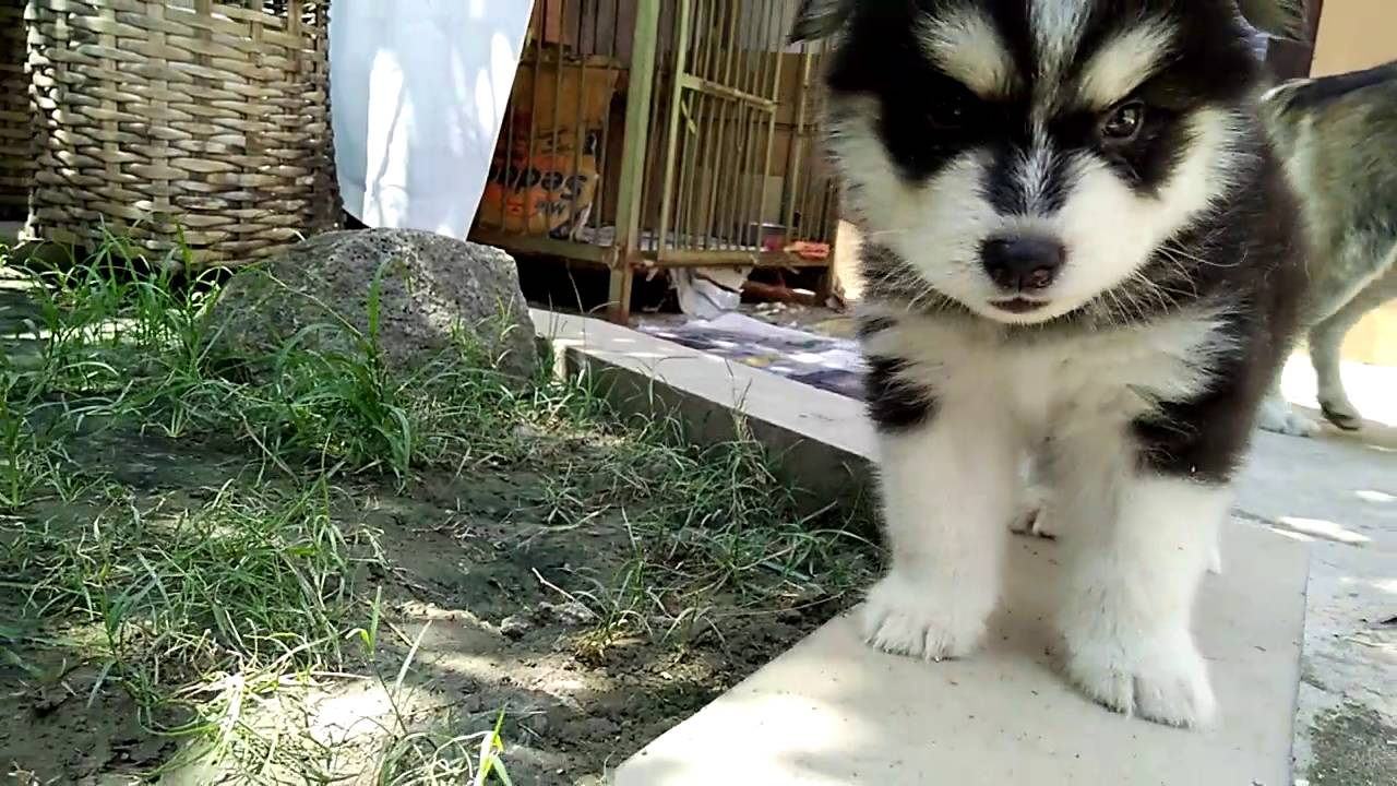 16++ Foto anak anjing husky terupdate