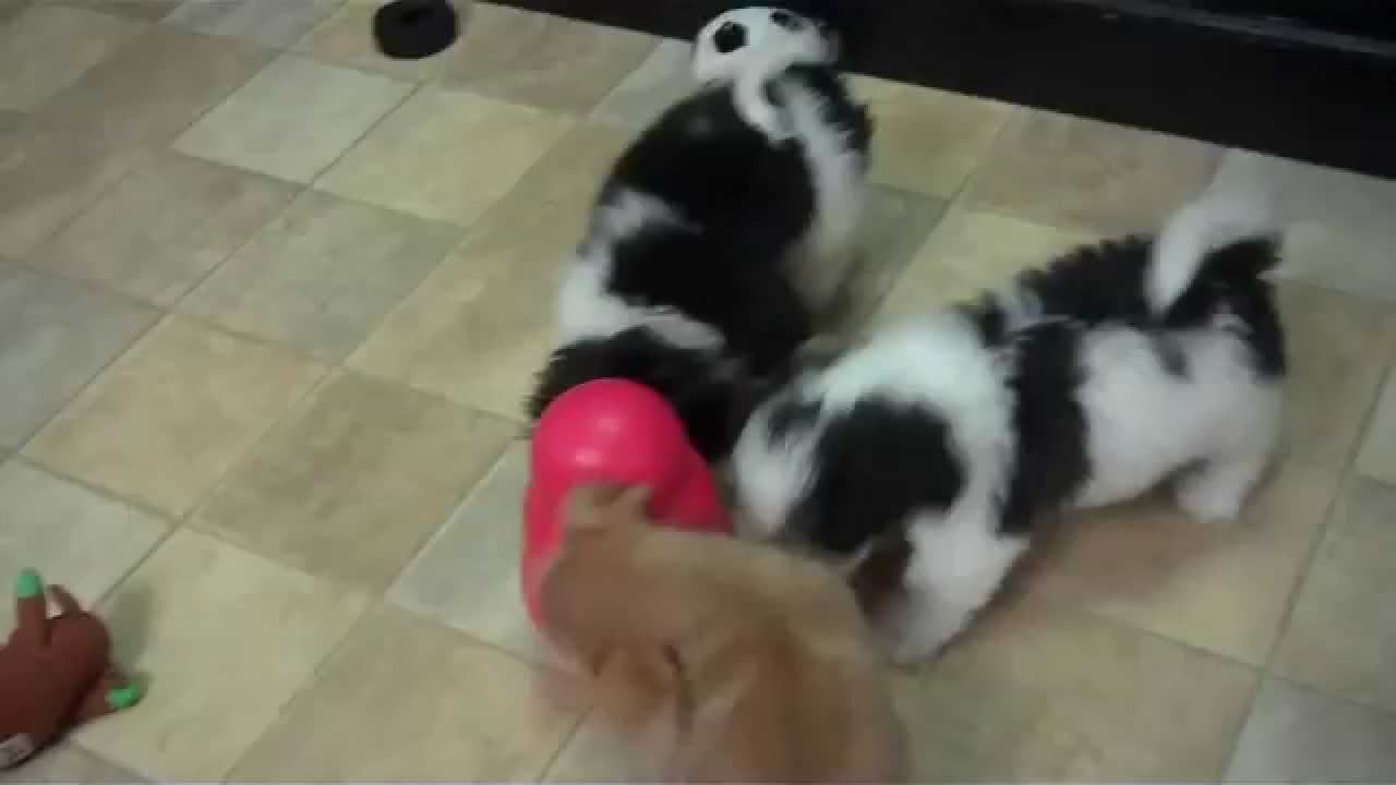 Japanese Chins And Shih Tzuchihuahua At Little Paws Youtube
