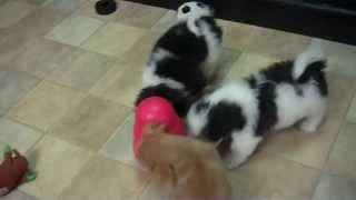 Japanese Chins And Shih Tzu/chihuahua At Little Paws!