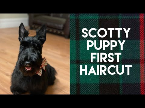 Scottish Terrier Haircut