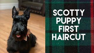 Scottish Terrier Haircut