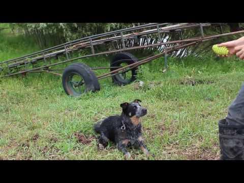 Training Blue Heeler Dog New Tricks in 3 Days