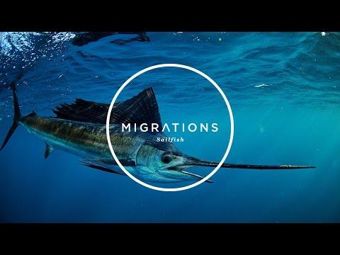 Migrations Part 1: Sailfish