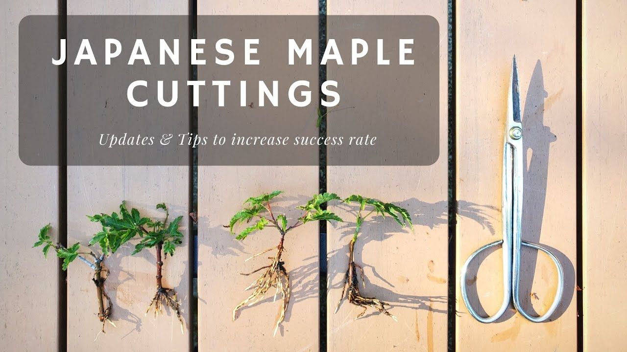 Japanese Maple Cuttings - Updates and Tips on increasing success rate!? Things I did!
