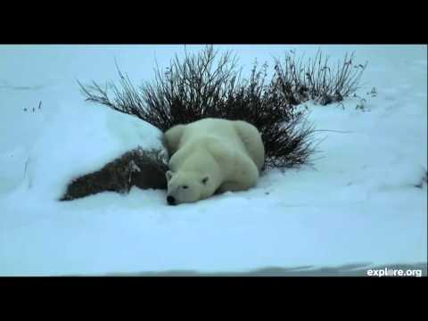Polar Bear migration begins at Churchill, Manitoba, Canada - 10-30-14
