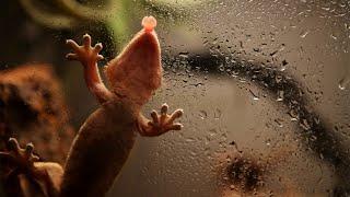 물 먹는 크레스티드 게코(Crested gecko dr…