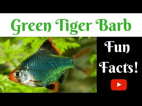 Green Tiger Barb Fun Facts