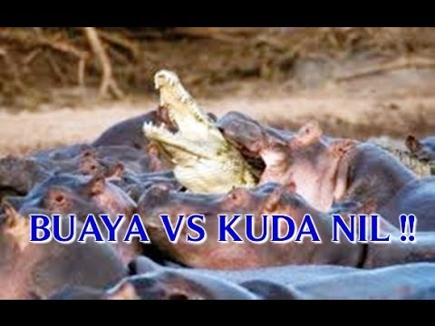 Video Buaya Kuda Nil Rawa Liar Terbesar Sungai Amazon Ngamuk
