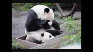 San Diego Zoo ~ 3.9.2013 ~ Bai Yun & Xiao Liwu