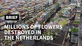 Coronavirus: '70 to 80%' of Dutch flower production destroyed | AFP