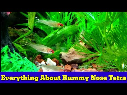 Everything About Rummy Nose Tetra