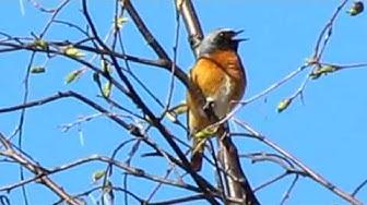 Redstart singing - Leppälintu laulelee