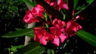 vatreni cvitovi oleandra