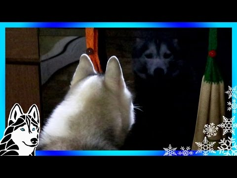 HUSKY REACTS TO REFLECTION | Dog Reacts to Reflection