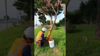 황토약손수목보호베롱나무