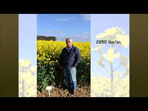 Strategic Steps for High Canola Yields